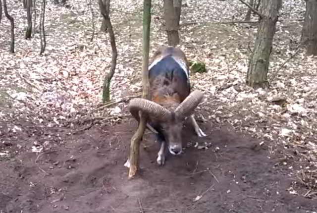 зацепился рогом за дерево!