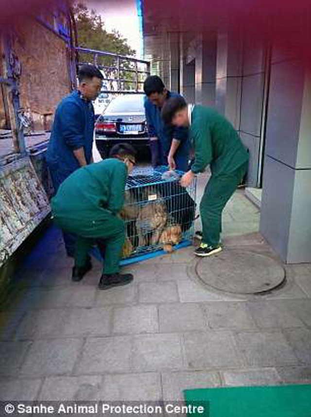 Собака плачет… Слёзы золотистого ретривера после чудесного спасения потрясли людей!