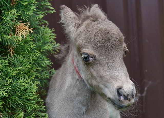 В Ленинградской области родился самый маленький конь в мире. Невозможно поверить своим глазам