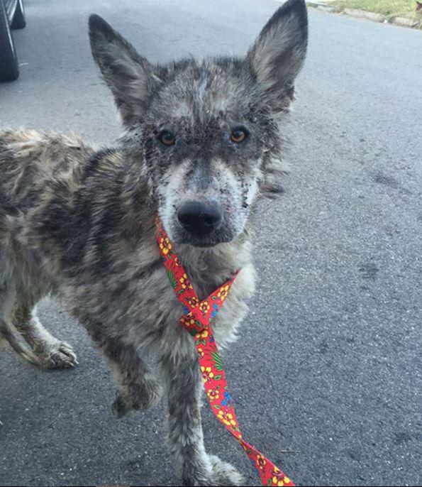 Замученный волк на улицах города пугал прохожих… Но люди превратили его в ослепительное домашнее животное!