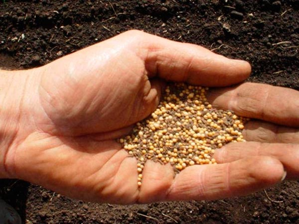Выращивание горчицы в качестве удобрения....