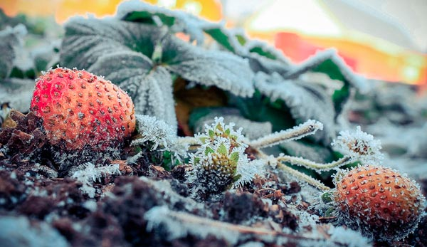 Правила утепления клубники для защиты от зимних холодов