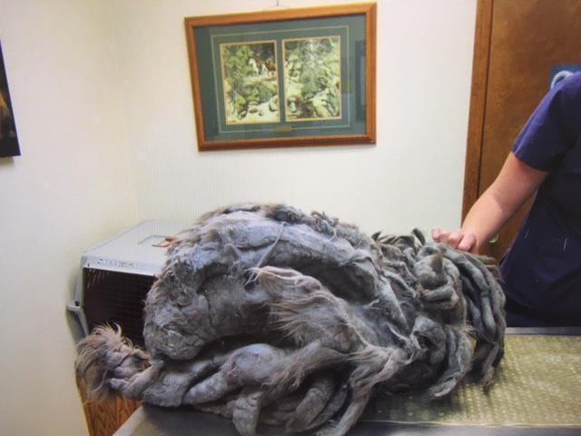 Кто-то подкинул в приют странного лохматого зверя. После стрижки выяснилось: это кот. Жирненький!