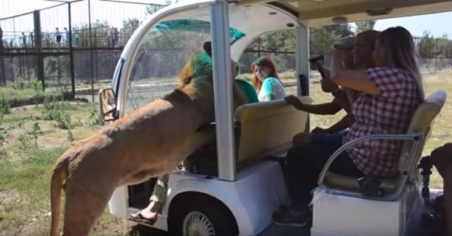 Видео: В Крыму на посетителей сафари-парка напал лев-обниматель. И это около двух центнеров милоты