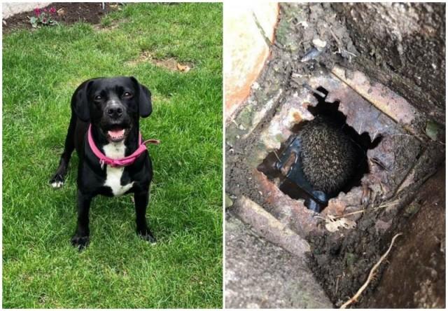 Собака вдруг повела хозяйку во двор - в канализации застрял маленький пленник (5фото)