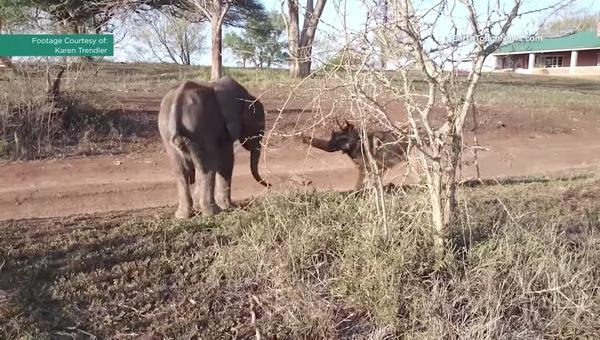 Слонёнка отвергло его стадо, от чего он впал в депрессию – но посмотрите на него, когда он встречает необычного друга: Видео!
