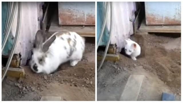 Видео: Кролик изо всех сил пытается спасти своего друга котёнка