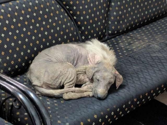 Больная и жалкая, собака уснула на диване, не зная, что здесь ее уже ждет счастливое будущее!