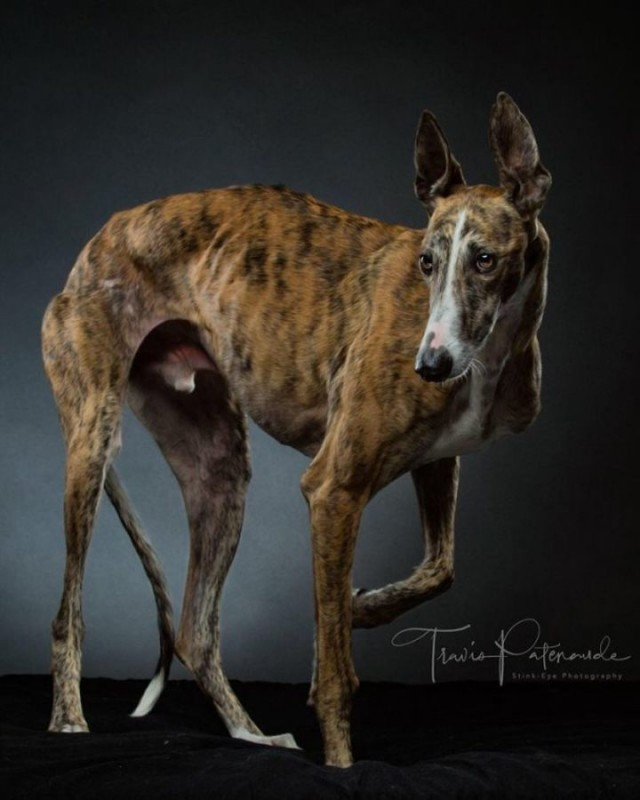 Прекрасные собаки с трагичной судьбой: борзые гальго из Испании