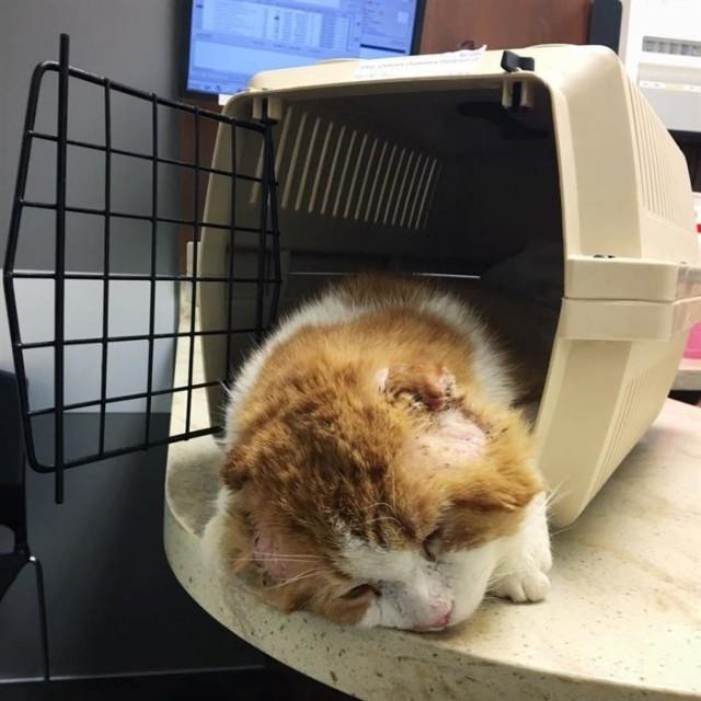 Голодный и больной, он пришёл на чужое крыльцо, надеясь найти объедки… Безухий кот не знал, что за ним наблюдают!