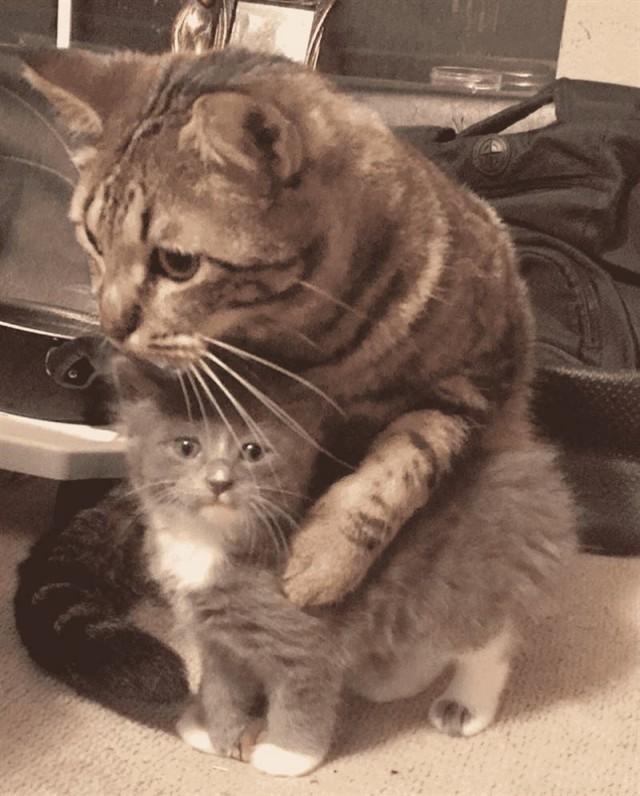 Домашний кот приучает котёнка-сироту обниматься целыми днями напролёт