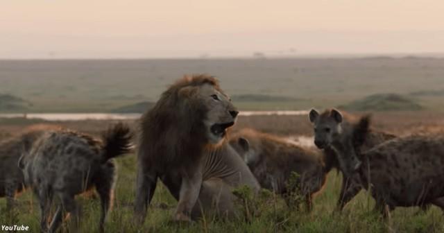 Лев не бросит брата в беде. Трогательный ролик покорил Сеть