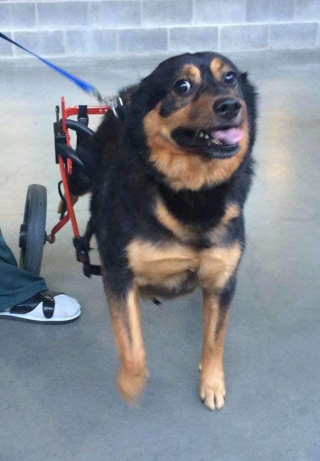 Пес Бандит с парализованными лапами 4 года ищет дом...
