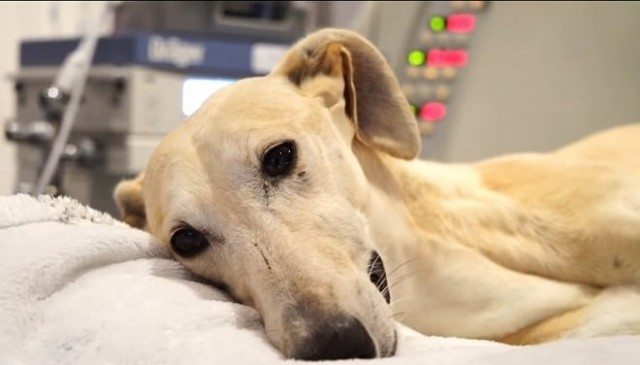 «Непригодна к работе»: собаку, которая не справлялась с обязанностями, хозяин избил и выбросил на улицу