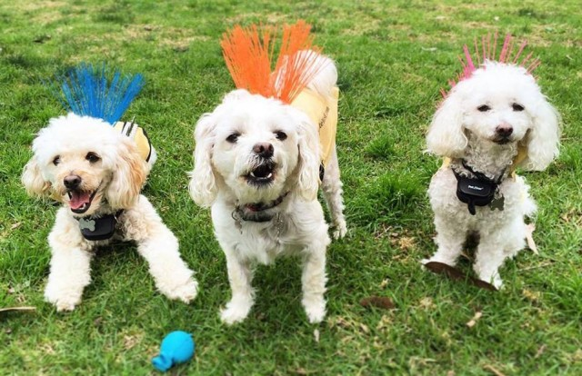 В США маленьким собачкам приходится носить такие жилеты — причина поразит