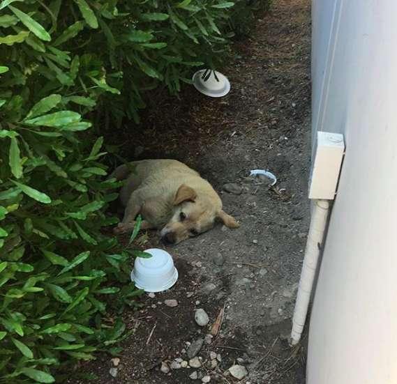 Люди спасли брошенного лабрадора, который жил в грязи