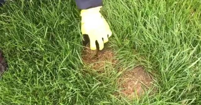 Видео: Если вы когда-нибудь увидите это коричневое пятно у себя во дворе, немедленно уходите