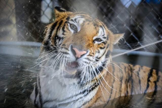 Трогательная история о больном тигренке, которого спасли из цирка!