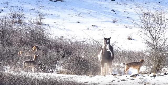 5 голодных волков окружили лошадь… В то, что случилось после — невозможно поверить! Видео!