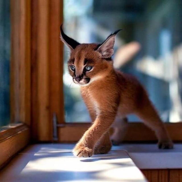 Котята каракала — одни из самых чудесных созданий на Земле: 10 Фото...