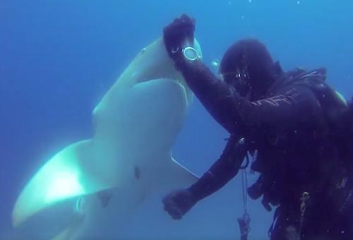 Видео: Акула подплыла и посмотрела прямо на дайвера. Вдруг он обратил внимание на ее живот