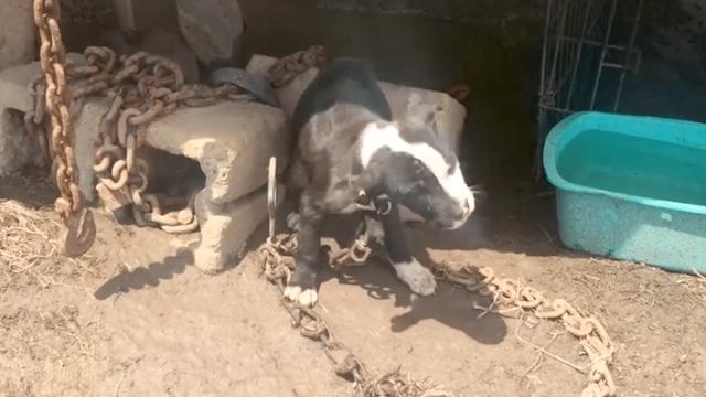 Цепи на щенке весили больше, чем он сам. Кроха плакал, зовя на помощь, но на него не обращали внимания