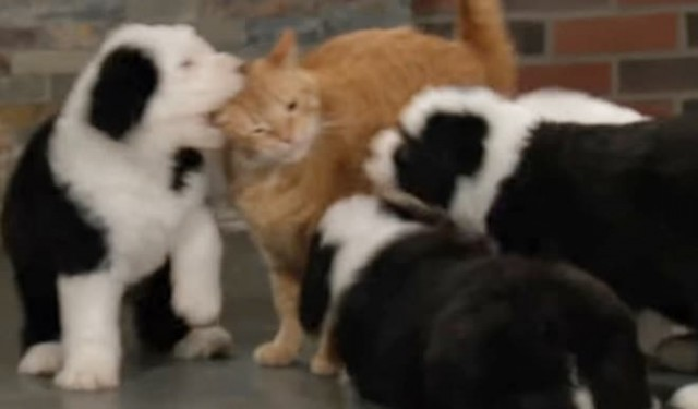 Маленькие щенки сумели победить взрослых котов