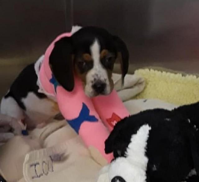 «А ведь могли бы не бросать»: от щенка с необычными лапами отказались хозяева, а врачи — нет