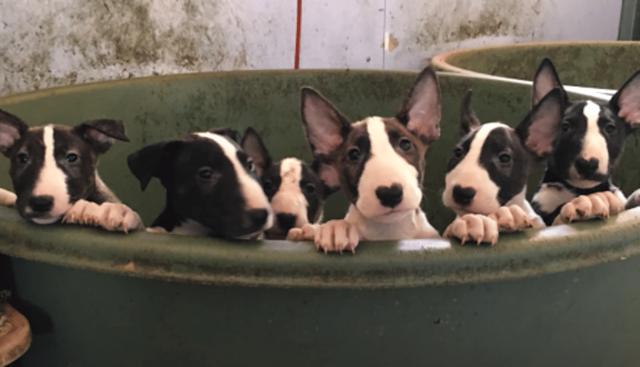 Видео: Люди думали, что спасают пятерых собак, но еще 110 бультерьеров надеялись на помощь