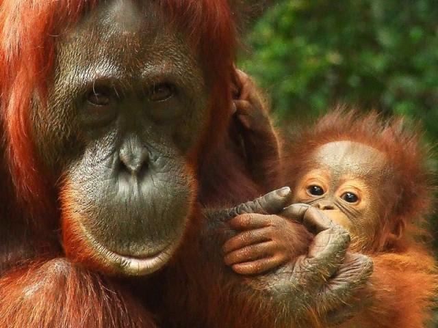 ВИндонезии разъяренный орангутан попытался защитить лесотэкскаватора. Видео!