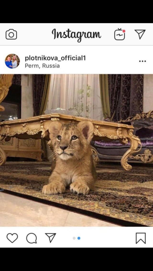 Супруга пермского депутата завела львенка исдает еговаренду