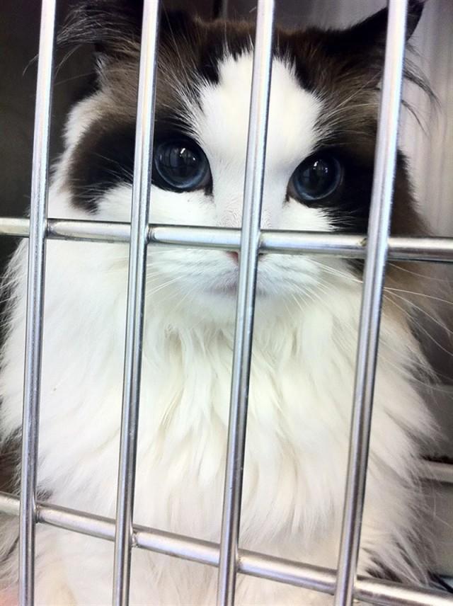 Кошачий бомонд: самые красивые кошки в мире - 20 шикарных Фото!