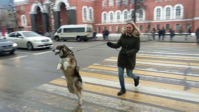 Видео: Пёс, который обожает ходить, как человек