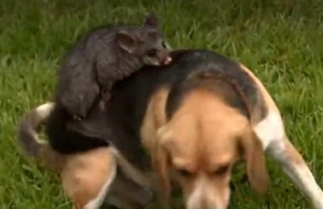После гибели щенков собака принесла на своей спинке милое существо и стала воспитывать, как родное дитя