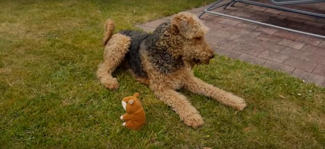 Видео: «Что вы мне подсунули?!» Реакция собаки на болтающего хомяка-дразнилку просто потрясающая!