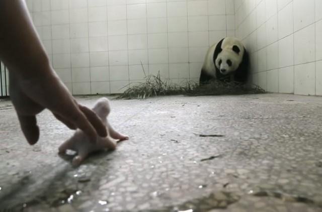 Видео: Мама панда отвергла своего беззащитного кричащего младенца… Но потом произошло чудо!