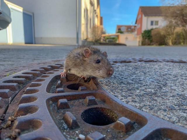 Крыса так отъелась за зиму, что застряла в люке. И спасать её приехала целая команда пожарных