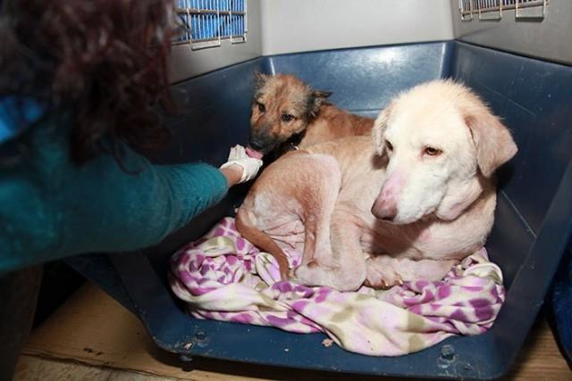 Этих собак нашли, когда они ели пластик на свалке, но вот, как они выглядят сейчас