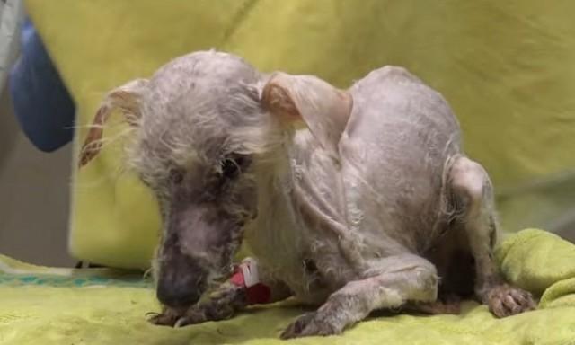 Преображение: как облезлая и больная собачка превратилась в пушистое чудо