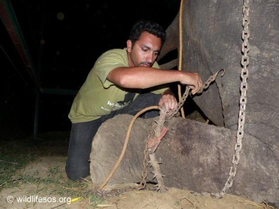 50 лет слон провёл в рабстве. Он заплакал, когда понял, что его освободят. Видео спасения!