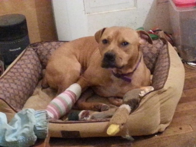 Пожилая пара спасла пса из бойцовского клуба, но вряд ли они могли предположить, что это он окажется их спасителем