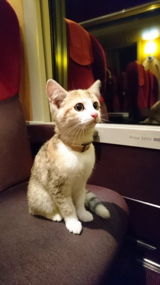 Этот отважный потерявшийся котёнок самостоятельно сел на поезд, чтобы вернуться домой, и пользователи интернета помогли найти его хозяйку