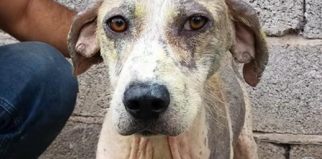 На обочине лежал больной и истощенный пес, все проходили мимо, но не этот парень. Видео спасения и преображения песика!
