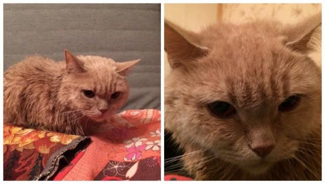 У шотландского кота не было шансов выжить в подъезде