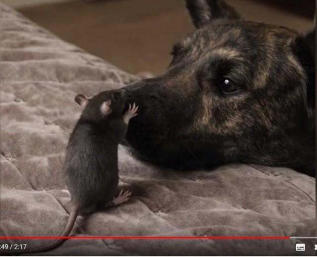 (Видео) Эта парочка не оставит равнодушным никого, кто её увидит! Пёс и маленький крысёнок трепетно ухаживают друг за другом