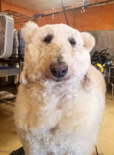 Женщина превратила свою собаку в белого медведя. И выглядит это так реалистично, что вы бежали бы от неё со всех ног