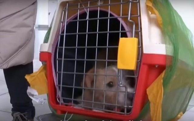 (Видео) Студентка из Екатеринбурга в Китае спасла щенка от съедения и привезла его в Россию!