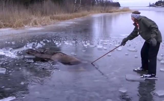 Лось провалился под лёд. Спасали животное… топором! (Видео)
