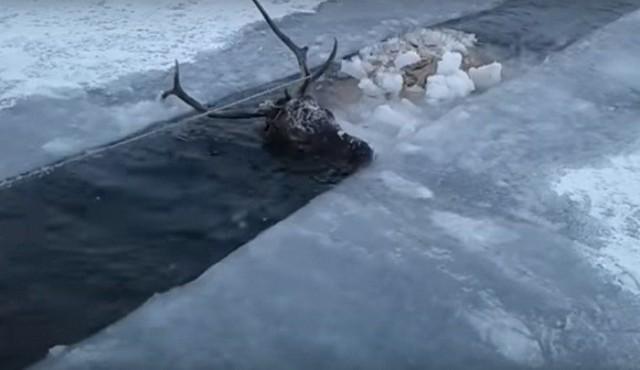 (Видео) Жители Бурятии несколько часов спасали провалившегося в полынью оленя, а потом отогревали его. И даже сделали массаж!