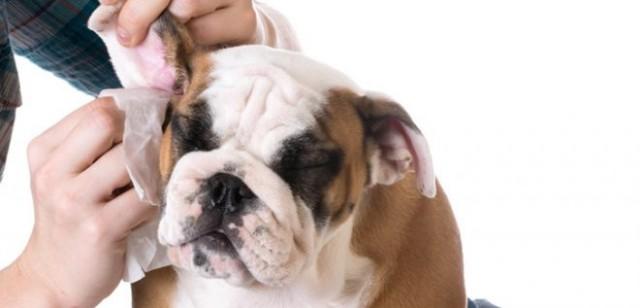 Как почистить ухо собаке, чтобы это не стало для нее испытанием